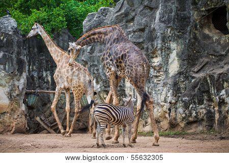 Group Of Giraffe (giraffa Camelopardalis) And Plains Zebras (equus Quagga)