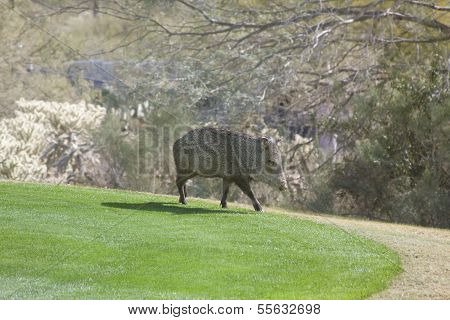 A Javalina on a golf course