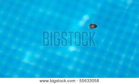 Swimming Bedbug