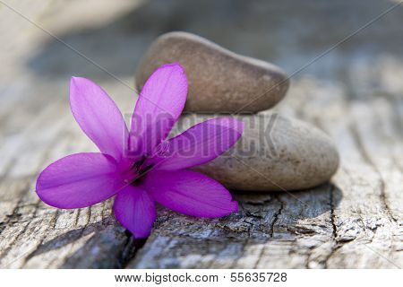 stones in balance with daisy flower isolated