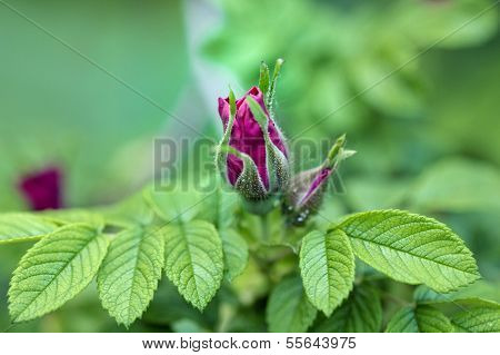 Bud Of A Dogrose