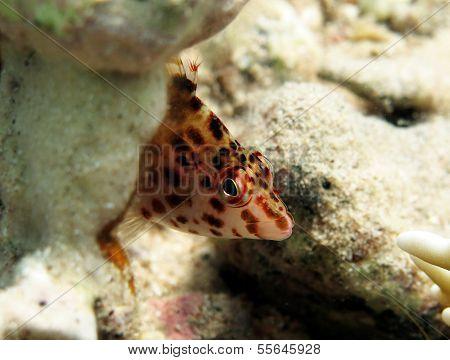 Shy hawkfish