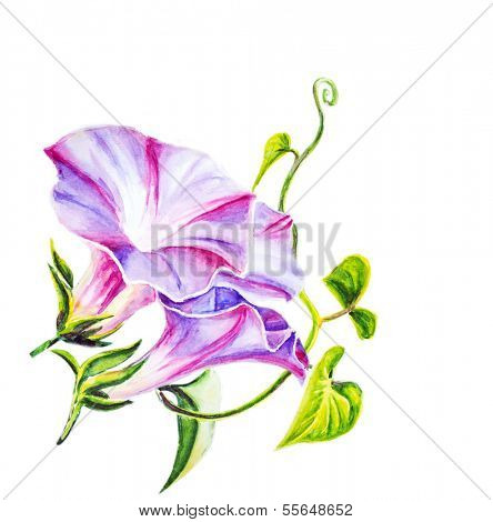 Convolvulus flowers. Watercolor painting. Isolated on white.