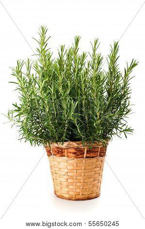 Rosemary Plant In Vase