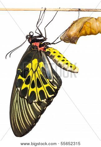 New Born Common Birdwing Butterfly Emerge From Cocoon