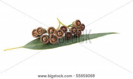 Eucalyptus Seeds;
