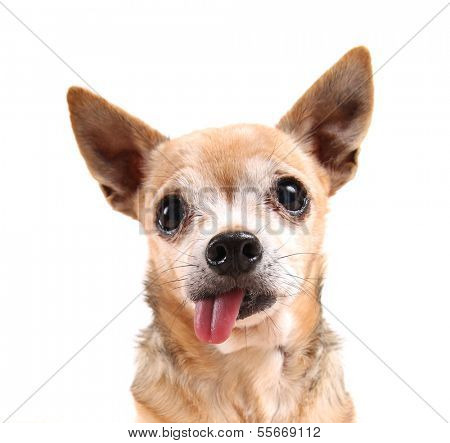 a funny chihuahua face