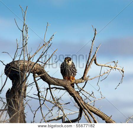 Hobby Falcon