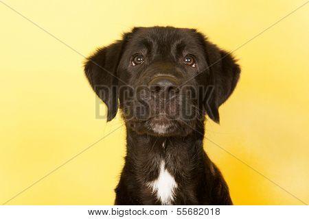 Cross breed dog portrait on yellow background