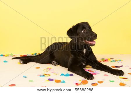 Cross breed dog is laying in front of yellow wall with confetti