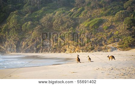 Kangaroos On Beach At Dawn