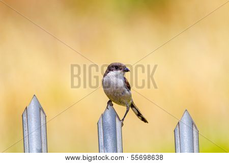 Bird Sitting On A Fence