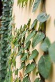 The Green Creeper Plant