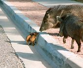 stock photo of javelina  - Wild Javalinas and their babies crossing the street in Arizona - JPG