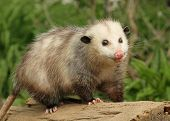 pic of opossum  - a young opossum on a log in nature daytime 