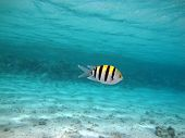 stock photo of sergeant major  - A lone sergeant major damselfish in a lagoon - JPG