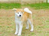 image of akita-inu  - A profile view of a young beautiful white and red Akita Inu puppy dog standing on the lawn. Japanese Akita dogs are distinctive for their oriental look and for being courageous.