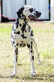 stock photo of spotted dog  - A young beautiful Dalmatian dog standing on the grass distinctive for its white and black spots on its coat and for being alert active and an intelligent breed - JPG
