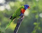 picture of lorikeets  - Sunset Lorikeet a species of Australasian parrot - JPG