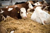 stock photo of animal husbandry  - Cows lying on the ground having a rest on a farm - JPG