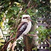 picture of kookaburra  - Australian native Kookaburra perched on a branch - JPG