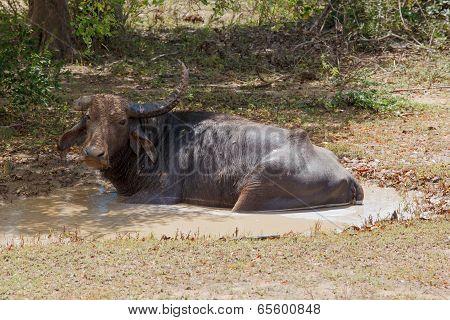Water Buffalo In Wild Nature