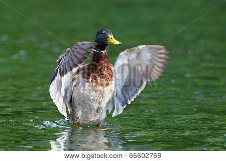 Big Mallard Duck Spreading Wings