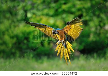 Landing Blue-and-yellow Macaw - Ara Ararauna