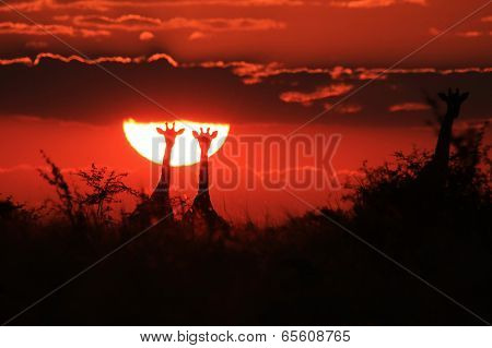 Giraffe Sunset - Wildlife Background from Africa - Golden Pairs
