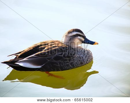 Beautiful spot-billed duck male on the blue lake