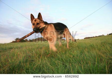 the Alsatian ( German Shepherd Dog )  is fetching