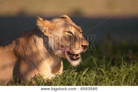 Lion (panthera Leo) Close-up