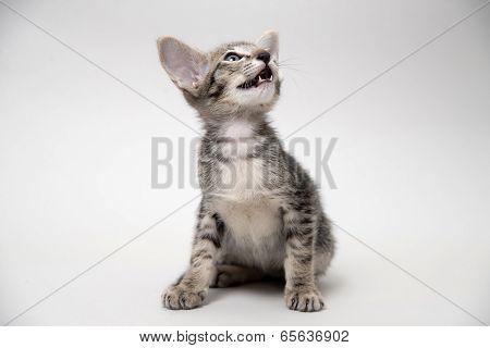 Sweet meowing grey tabby kitten