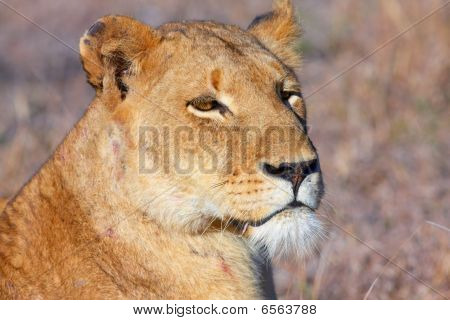 Lion (panthera Leo) Close-up
