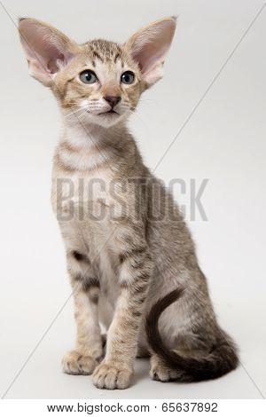 Sweet chocolate tabby kitten