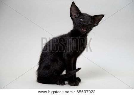 Funny black oriental kitten meowing