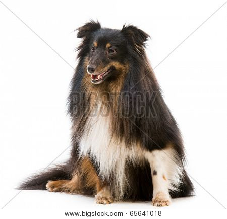 Sheltie dog breed on a white background