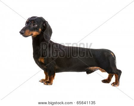 dog breed dachshund on white background