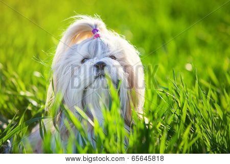 Shih tzu dog in grass.