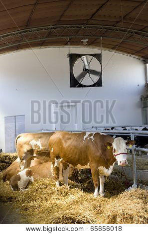 Simmental Cows