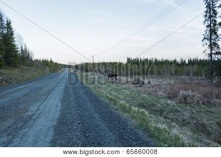 Yearling Elk At The Dirt Road