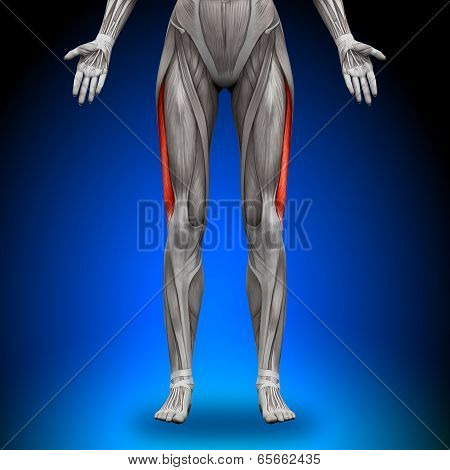 Vastus Lateralis - Female Anatomy Muscles