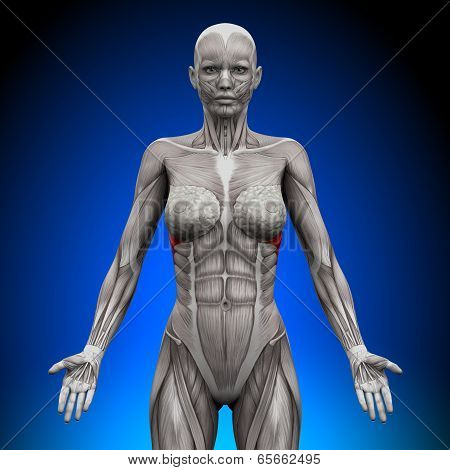 Serratus Anterior - Female Anatomy Muscles
