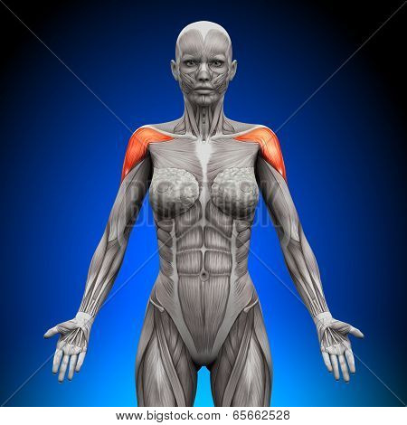 Shoulders / Deltoid - Female Anatomy Muscles