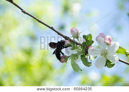 Blue carpenter bee - Xylocopa