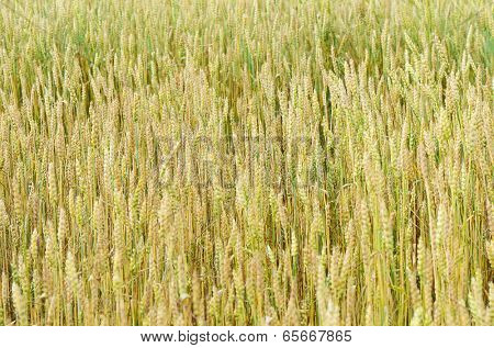 The field of ripe wheat close up
