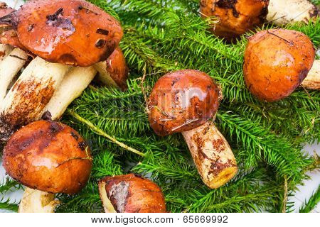 beautiful fresh mushrooms and spruce branches