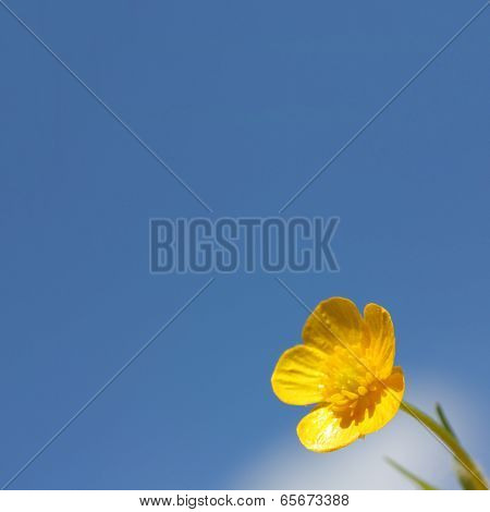 yellow buttercup flower macro on blue sky background