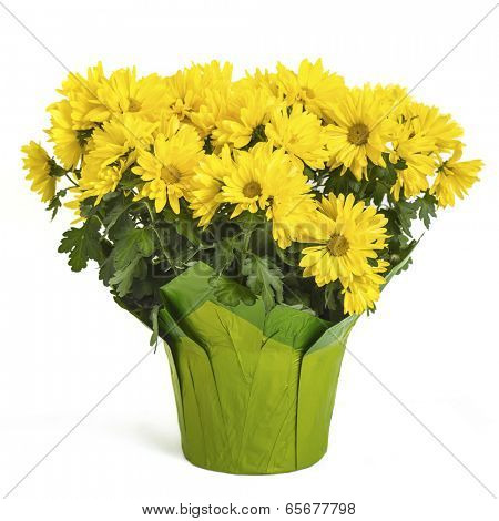 A pot of yellow chrysanthemums.