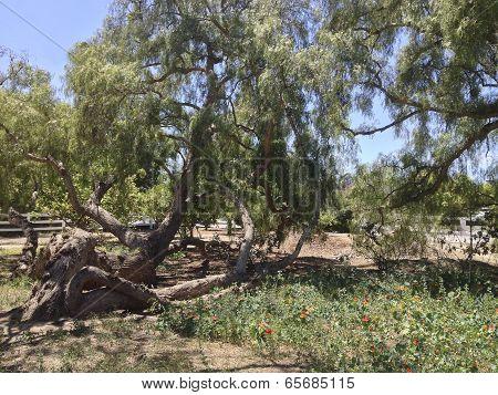 California Pepper Tree